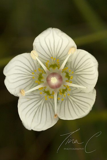 Bog Star Grass of Parnassus