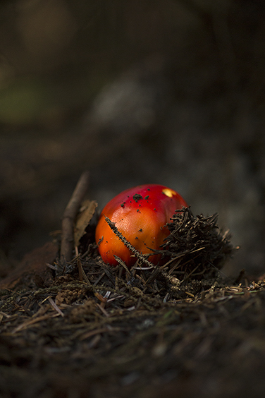 Emerging Fly Agaric