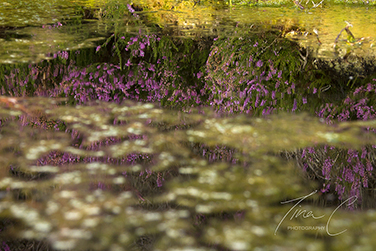 Heather Reflection