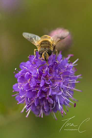 Hoverfly Bee on Scabious
