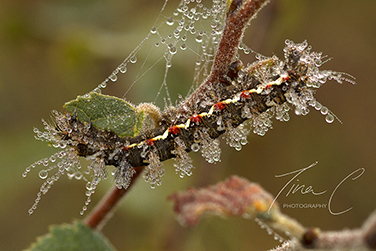 Knotgrass Moth Caterpillar