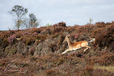 Young Stag in Flight