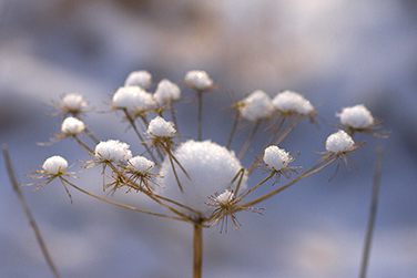 Snow-Capped Wild Angelica