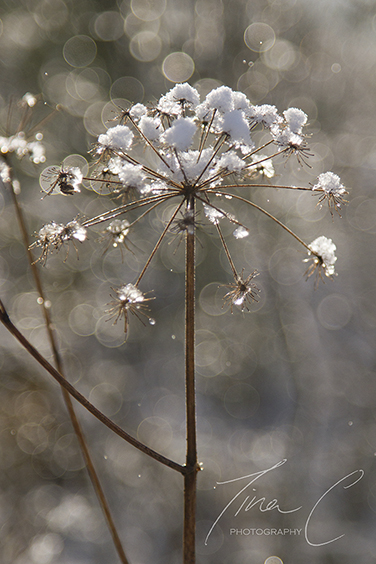 Wild Angelica Snow